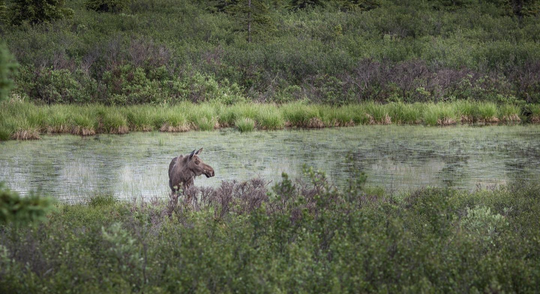 Wildlife Along the Alcan Highway